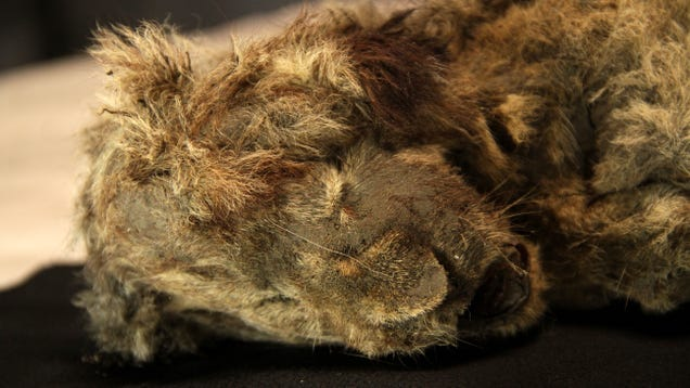 Ancient DNA From Preserved Cave Lions Reveals They Were a Unique Species