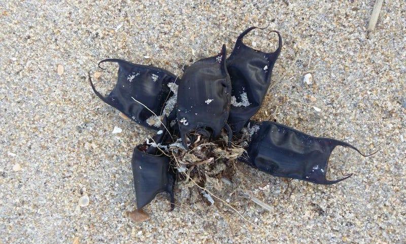 Illustration for article titled Monederos de sirena: qué son en realidad estas extrañas bolsitas negras que aparecen en las playas en otoño