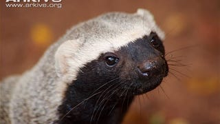 Monday Mustelid - Galictis vittata Edition
