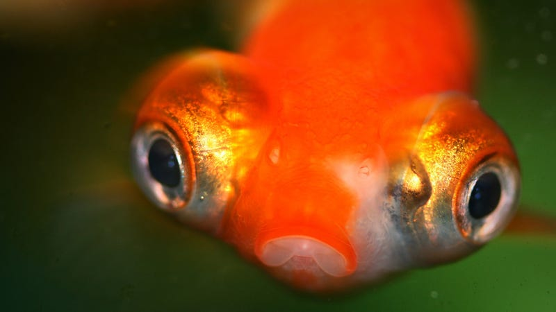 Goldfish brew their own booze to survive frozen ponds for Poisson rouge gros yeux