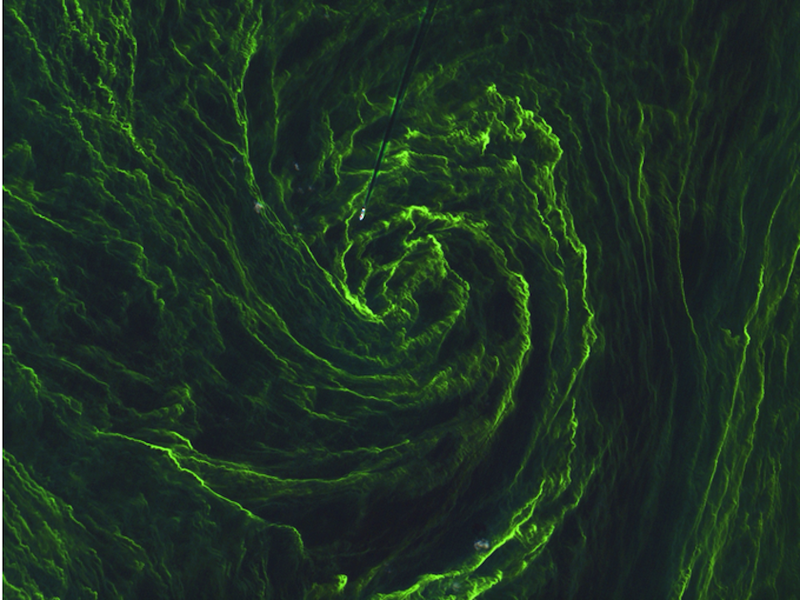 Illustration for article titled Get Lost in the Swirling Green Seas of a Massive Algae Bloom