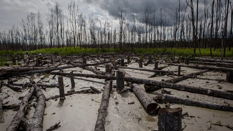 A view of dead trees affected by gold mine waste, known as tailings on February 2, 2017 in Timika, Papua Province, Indonesia.