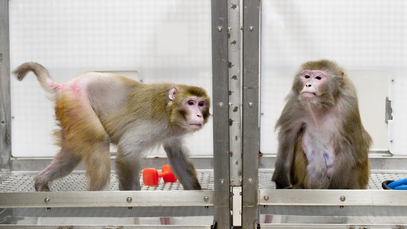 Two rhesus macaques partaking in the University of Wisconsin-Madison study. The picture, which was taken back in 2009, shows Canto (left) and Owen (right). Shockingly, Canto, who is on a CR diet, is 29, while Owen, who receives pellets consisting of 30% sugar, is 27. (Image: University of Wisconsin-Madison, photo by Jeff Miller)