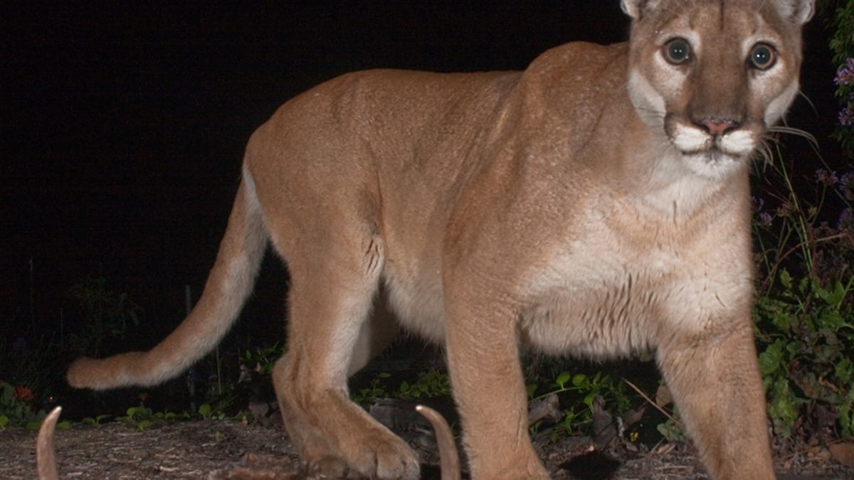 Cougars in central texas