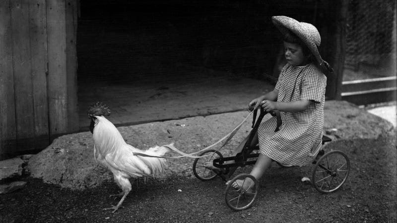 Girl (6-7) playing with rooster
