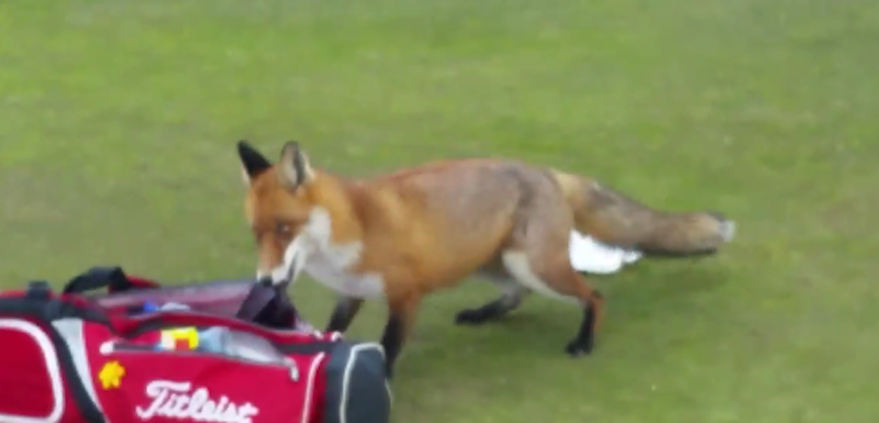Illustration for article titled Fox Invades Golf Course, Steals A Dude's Wallet