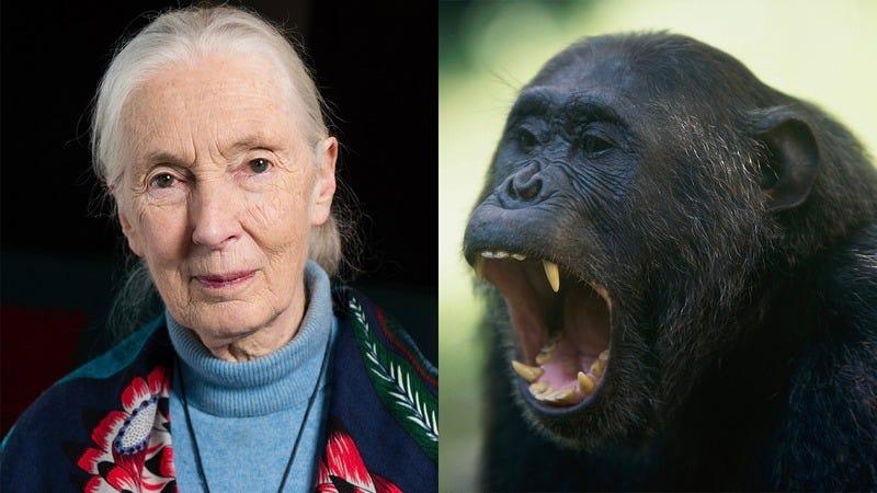 Jane Goodall and an ape