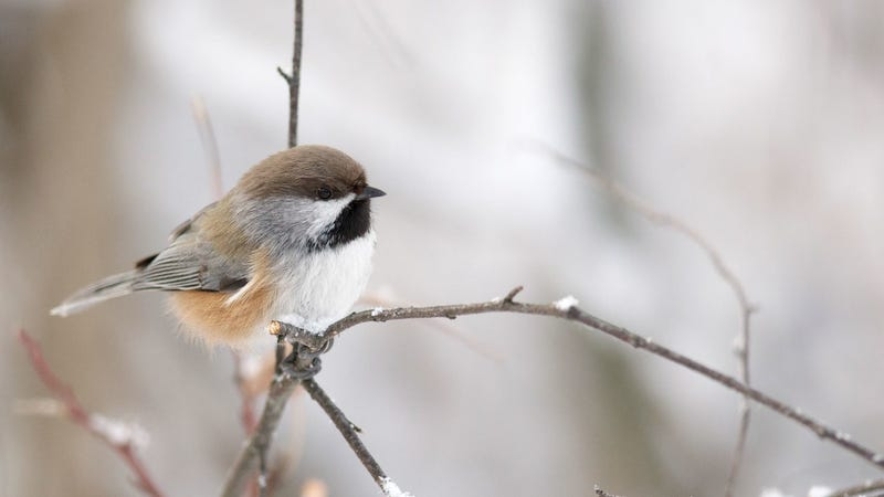 A boreal chickadee who won't have habitat in Acadia National Park by 2050 if climate change continues unchecked.