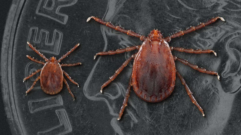 A nymph longhorned tick, left, and an adult female, right, placed on an U.S. dime.