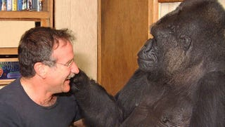 Illustration for article titled The Moral Purpose of Telling Koko the Gorilla How Robin Williams Died