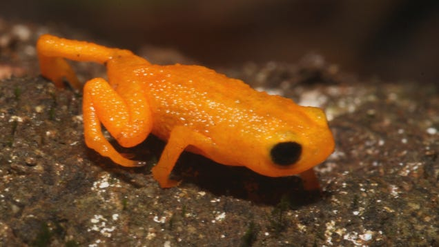 Glowing Pumpkin Toadlet Can t Hear Its Own Tiny Scream