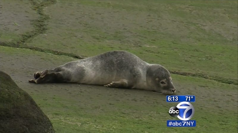 Illustration for article titled Very Chill Seal Pup Spends the Day in Queens