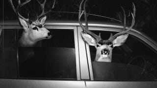 Illustration for article titled Drunk man gets DUI while trying to drive deer to hospital