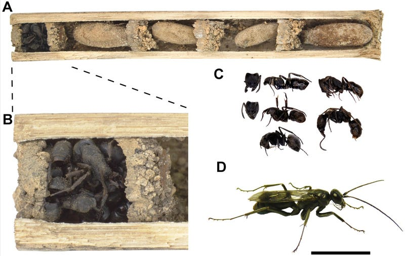 Illustration for article titled Why Are These Wasps Stockpiling Ant Corpses in Their Nests?