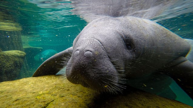 Something Is Killing Florida s Manatees in Record Droves