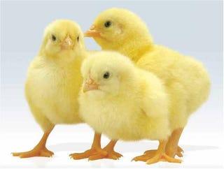 Illustration for article titled Soha ne mosd meg a csirkét főzés előtt!