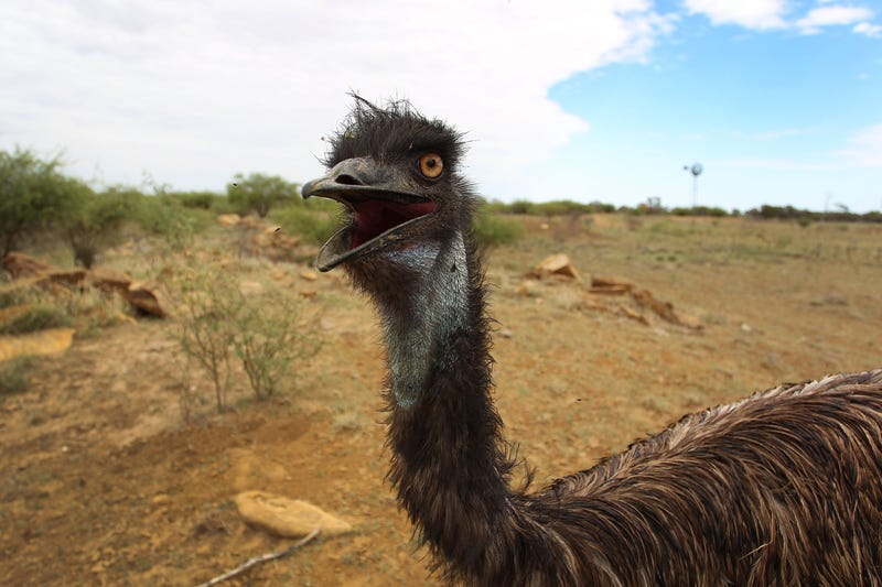 This emu is named Stan.
