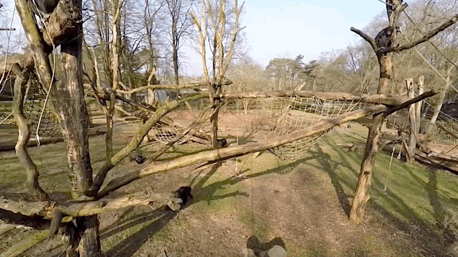 Por qué los antropólogos están fascinados con el mono que derribó un dron