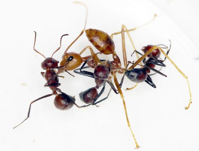 Neue Arten der 'Explodierenden Ameise' in Borneo entdeckt