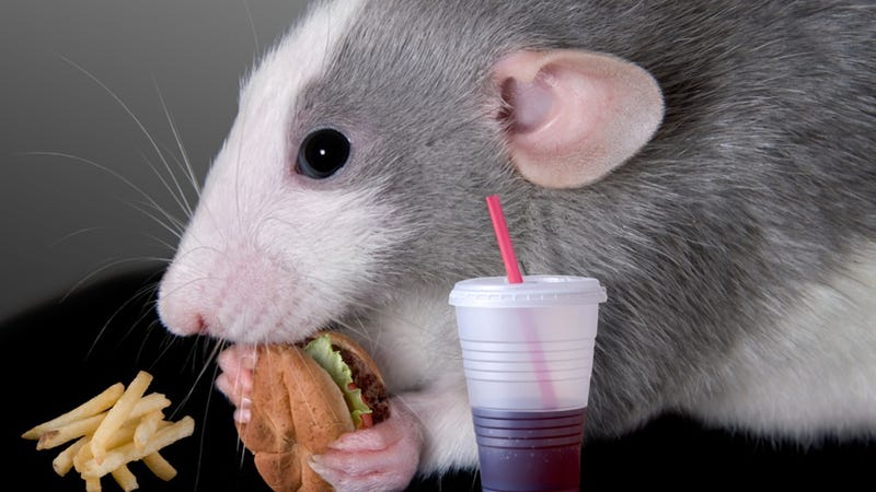 Illustration for article titled Lady Rats Can Probably Blame Their Binge Eating on Their Lady Rat Parts