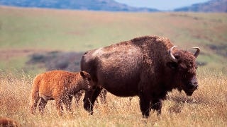Illustration for article titled Why These Bison in California Were Put on Birth Control