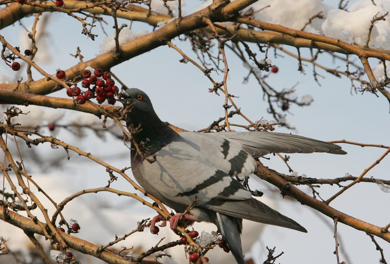 Photo: AP (I hope this pigeon eating berries in Ankara, Turkey illustrates my point well enough.)