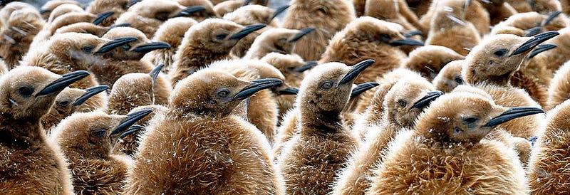Ejemplares jóvenes de Pingüino Rey
