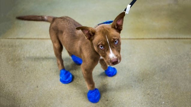 It s So Hot in Arizona Right Now, Puppy Feet Are Frying