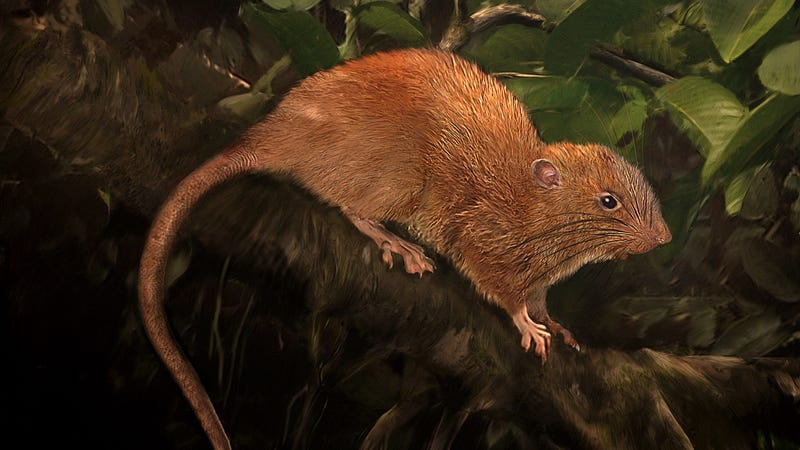 This is an illustration of the new species, Uromys vika. Image: Velizar Simeonovski, The Field Museum