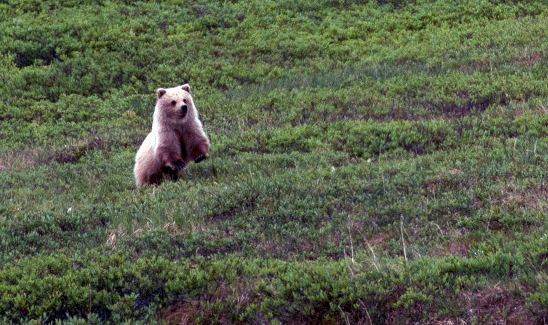 A grizzly bear in Denali National Park, Alaska.