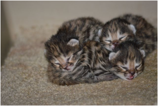 Illustration for article titled ZOMG BABY BLACK-FOOTED CATS NAMED AFTER DRAGONS!!!