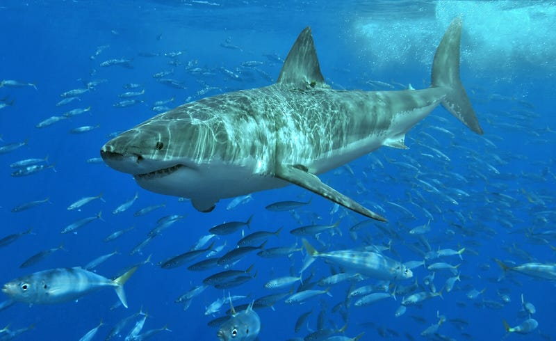 Un gran tiburón blanco. Foto: Wikimedia Commons