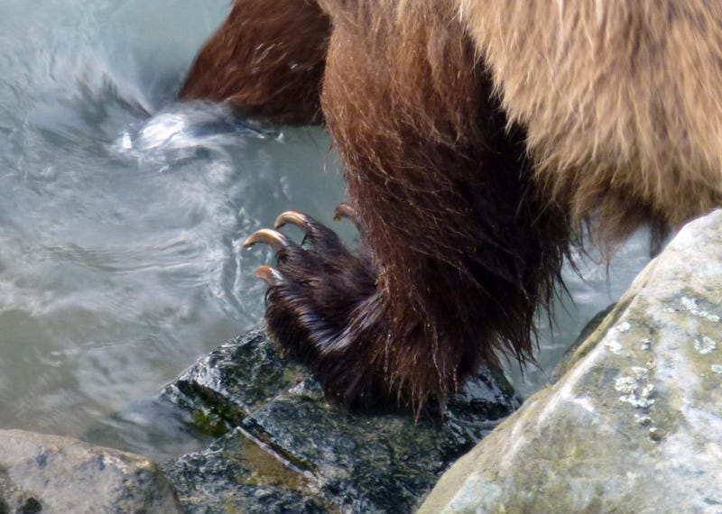 Illustration for article titled Grizzly Bear Dips Toes in Water, Provides Reminder of Human Frailty
