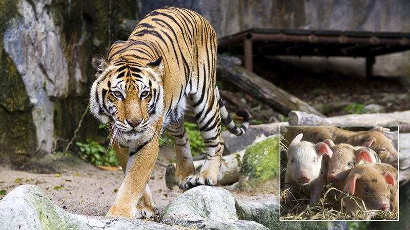 Illustration for article titled Heartwarming: When This Mother Tiger Lost Her Cubs During Birth, The Zookeepers Gave Her A Litter Of Piglets To Eat