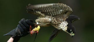 Illustration for article titled A GPS-Equipped Falcon Could Keep Birds From Flying Into Wind Turbines