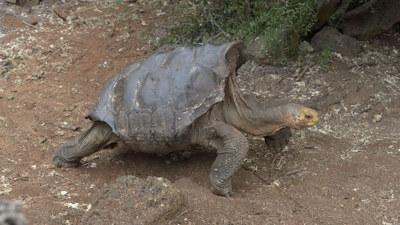 Photo of Diego, the tortoise who loves to fuck, via Getty