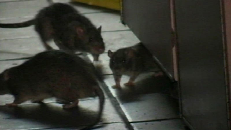 Illustration for article titled My Mother Confirms: There Is a Rat Problem by This Brooklyn Chipotle [Updated]