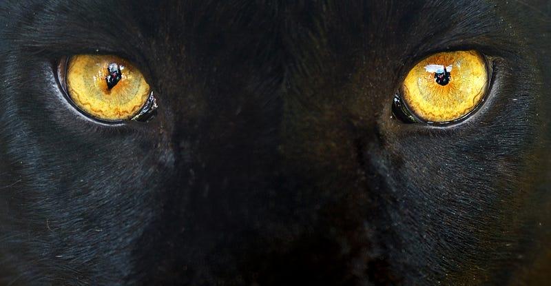 Illustration for article titled Científicos logran fotografiar las manchas en la piel del leopardo negro