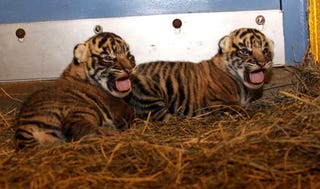 Illustration for article titled Adorable Baby Tigers Will Have Swim Test on Wednesday you can watch them on Tigercam now