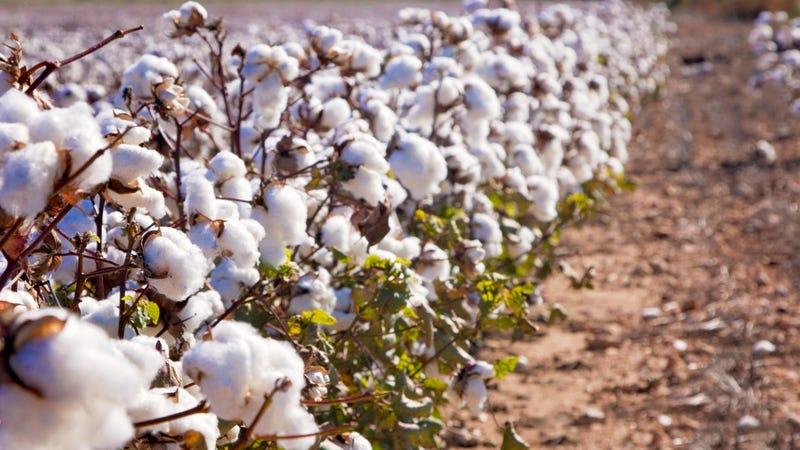 USDA approves edible cotton, w...