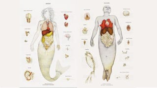 Illustration for article titled A Gorgeous Dissection of Mermaid Anatomy