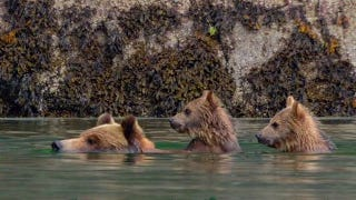Illustration for article titled Disney's Bears: Bears Watching