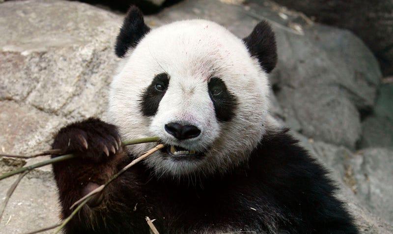 Un Oso Panda (no el protagonista de nuestra historia). Foto: AP