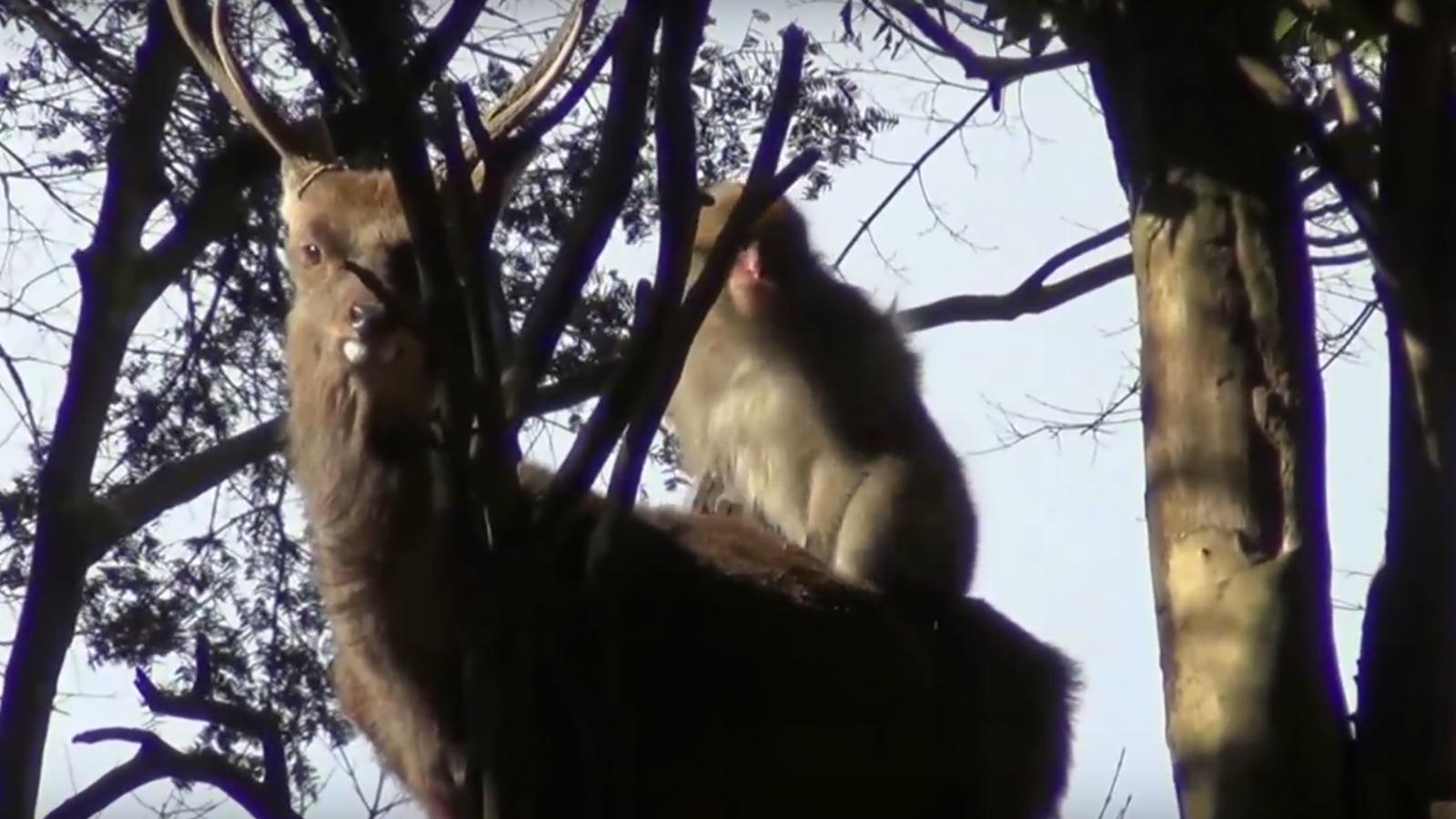 Monkeys Screwing Deer in Japan Surprises Humans, Somehow