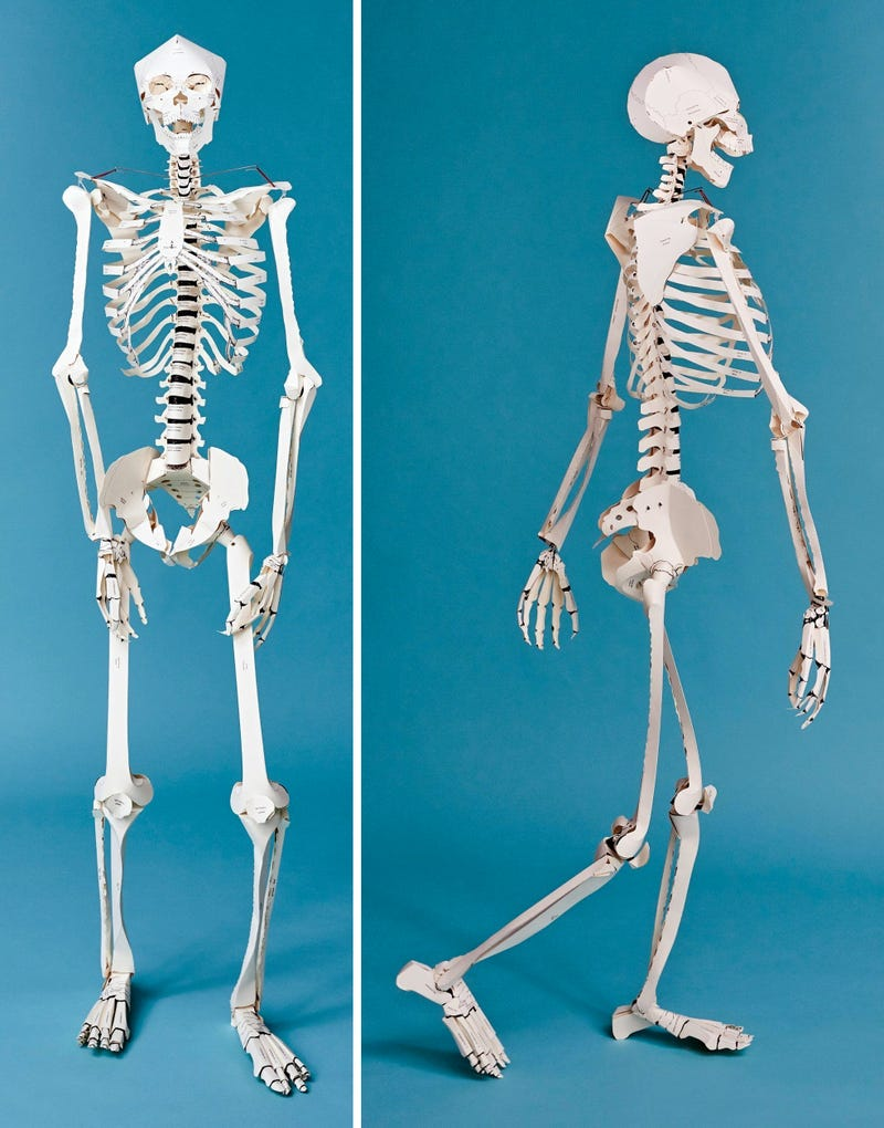 picture regarding Printable Human Skeleton to Assemble called A Textbook That Turns Into a Lifesize Paper Skeleton Ought to
