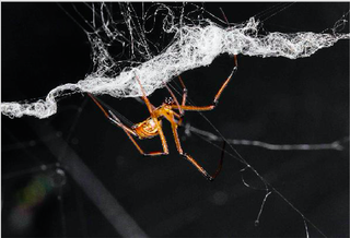 Illustration for article titled Male Black Widows Go To Crazy Lengths To Keep A Female To Themselves