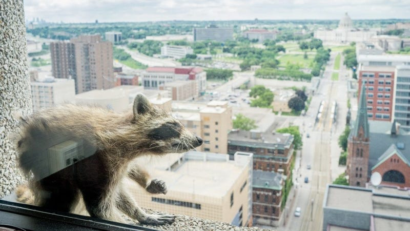 Illustration for article titled Someone Please Save the Raccoon [Update: It's Climbing Down]