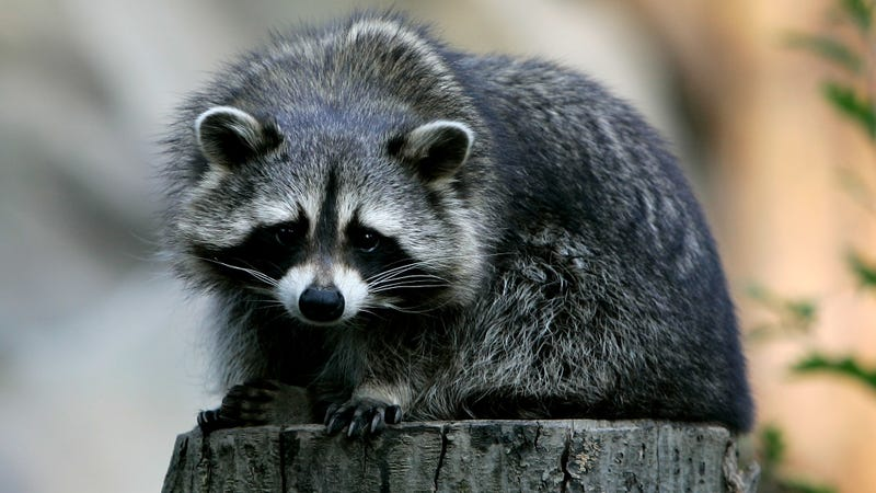 Rabid raccoon drowned by quick-thinking woman after attack