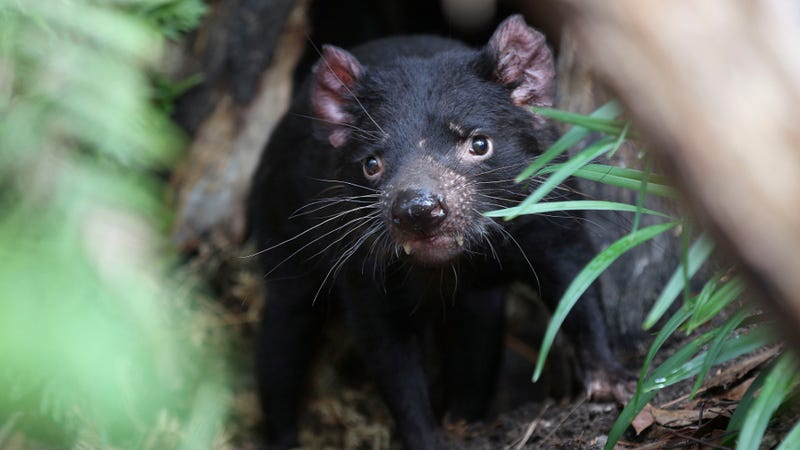 Tasmanian devils are the largest marsupial carnivores in the world. (Image: AP/Rob Griffith)