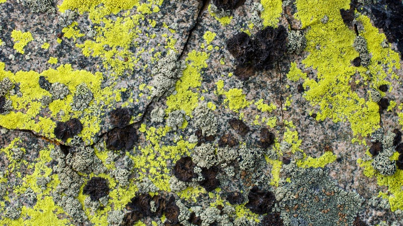 Illustration for article titled Everyone stop eating the sexy pavement lichen